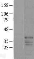 NBL1-10538 - FAM50B Lysate