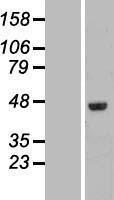 NBL1-10540 - FAM53C Lysate