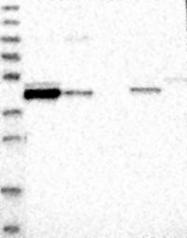 NBP1-84967 - FAM54A