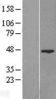 NBL1-10541 - FAM54A Lysate