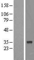 NBL1-10542 - FAM54B Lysate