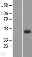 NBL1-10543 - FAM55A Lysate