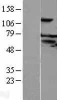 NBL1-10544 - FAM55C Lysate
