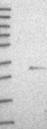 NBP1-84189 - FAM57B