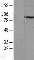 NBL1-10547 - FAM5B Lysate