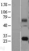 NBL1-10548 - FAM60A Lysate