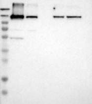 NBP1-84741 - ESYT1