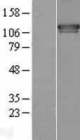 NBL1-10549 - FAM62A Lysate