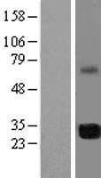 NBL1-10552 - FAM64A Lysate