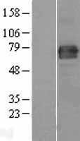 NBL1-10553 - FAM65B Lysate