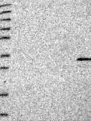 NBP1-81175 - FAM70B
