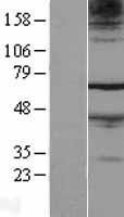 NBL1-10558 - FAM71A Lysate