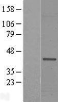 NBL1-10562 - FAM71F1 Lysate