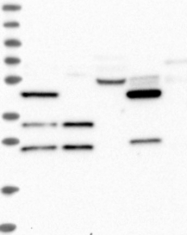 NBP1-86701 - FAM73B