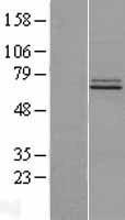 NBL1-10563 - FAM73B Lysate