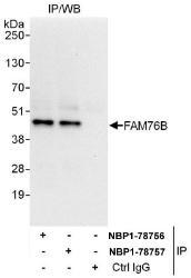 NBP1-78756 - FAM76B