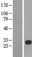 NBL1-10566 - FAM78A Lysate