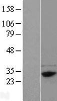 NBL1-10567 - FAM78B Lysate