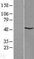 NBL1-10570 - FAM81B Lysate