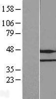 NBL1-10578 - FAM86A Lysate