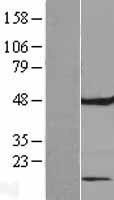 NBL1-10579 - FAM86C Lysate