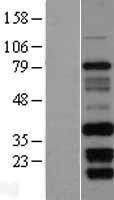 NBL1-10582 - FAM92B Lysate