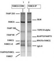 NBP1-18977 - FANCA