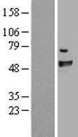 NBL1-10587 - FANCC Lysate