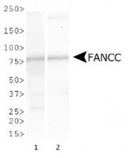 NBP1-18979 - FANCC