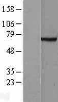 NBL1-10589 - FANCG Lysate