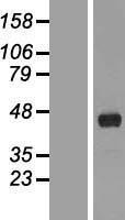 NBL1-10591 - FANK1 Lysate