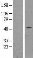 NBL1-14505 - FAPP2 Lysate