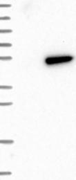 NBP1-85187 - FARS2