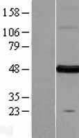 NBL1-10595 - FARS2 Lysate