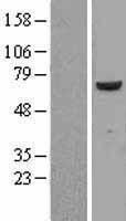 NBL1-10597 - FARSB Lysate