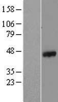 NBL1-10601 - FASTK Lysate