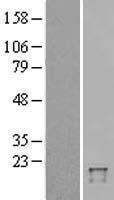 NBL1-17510 - UBD Lysate