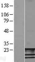 NBL1-10605 - FATE1 Lysate
