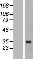 NBL1-10622 - FBG4 Lysate