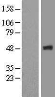 NBL1-10643 - FBX09 Lysate