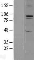 NBL1-10620 - FBXO11 Lysate
