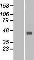 NBL1-10623 - FBXO22 Lysate
