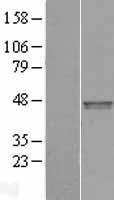NBL1-10631 - FBXO31 Lysate