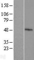 NBL1-10634 - FBXO39 Lysate