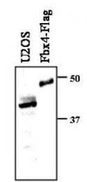 NBP1-78036 - FBXO4