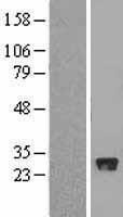 NBL1-10637 - FBXO44 Lysate