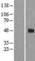 NBL1-10646 - FBXW2 Lysate