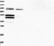 NBP1-84715 - FBXW8
