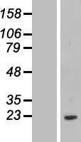 NBL1-10653 - FCF1 Lysate