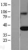 NBL1-10660 - FCGRT Lysate